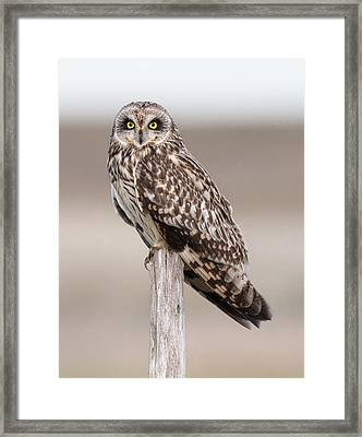 Short Eared Owl Framed Print by Ian Hufton