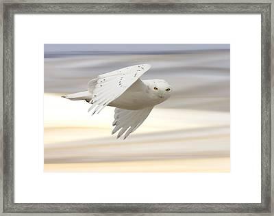 Snowy Owl In Flight Framed Print by Mark Duffy