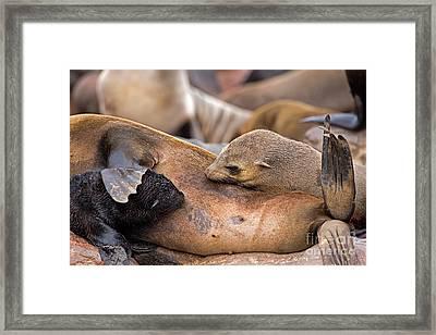 South African Fur Seal Arctocephalus Framed Print