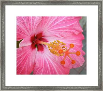 Framed Print featuring the photograph 5 Star Hibiscus by Randy Rosenberger