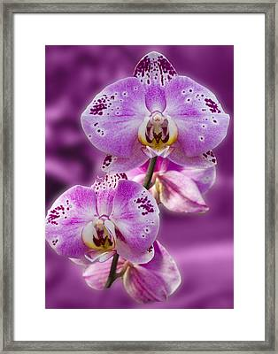 Stunning Orchids Framed Print by David French