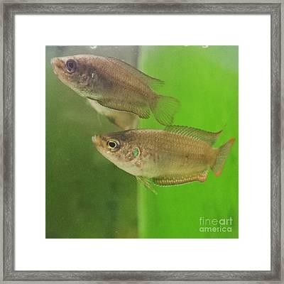 Taiwan Goldfish   Framed Print by Sobajan Tellfortunes