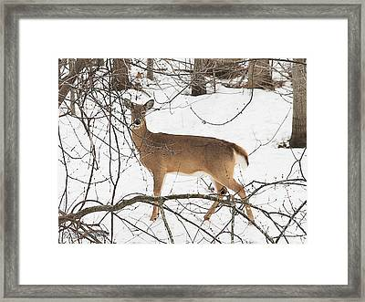 White-tailed Deer Framed Print