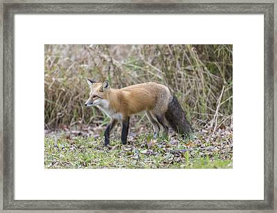 Wild Red Fox In The Wild Framed Print