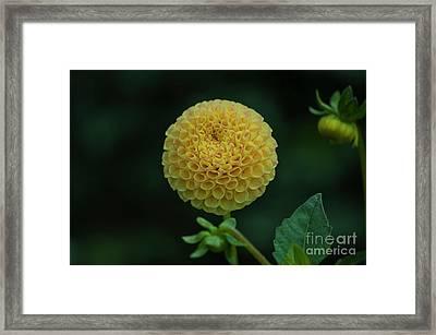 Yellow Dahlia Framed Print