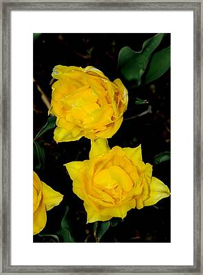 Yellow Flowers Framed Print by Patrick  Short