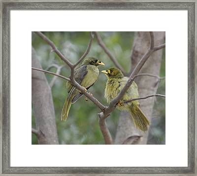 Bellbird Framed Print