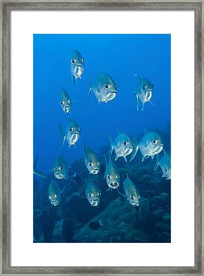 A School Of Bigeye Trevally, Papua New Framed Print