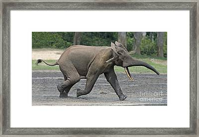 African Forest Elephant Framed Print by Tony Camacho