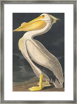 American White Pelican Framed Print by John James Audubon