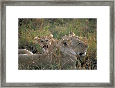 Angry Lion Cub Framed Print by Carl Purcell