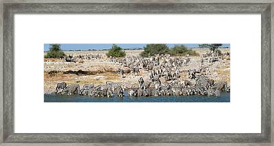 Burchells Zebras Equus Quagga Framed Print by Panoramic Images