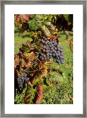 Grapes Growing On Vine Framed Print