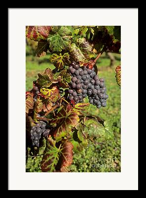 Bunch Of Grapes Photographs Framed Prints