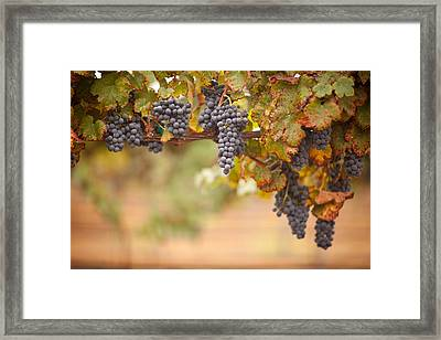 Grapes On The Vine Framed Print by Andy Dean