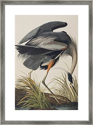 Great Blue Heron Framed Print by John James Audubon