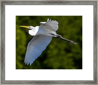 Great White Heron Framed Print