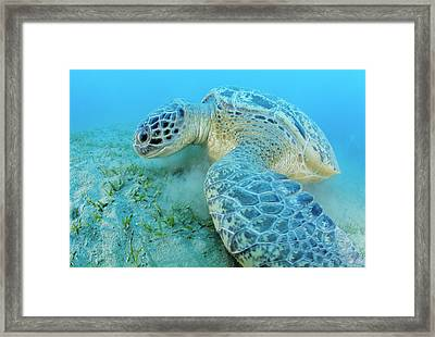 Green Sea Turtle Framed Print by Alexis Rosenfeld