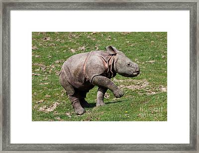 Indian Rhinoceros Rhinoceros Unicornis Framed Print