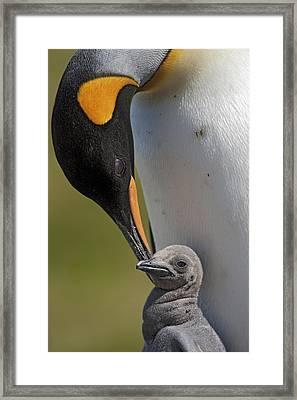 King Penguin Aptenodytes Patagonicus Framed Print by Ingo Arndt