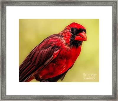 Male Cardinal Framed Print