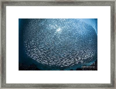 Massive School Of Millions Of Sardines Framed Print by Mathieu Meur