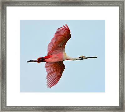 Roseate Spoonbill In Flight Framed Print by Lindy Pollard
