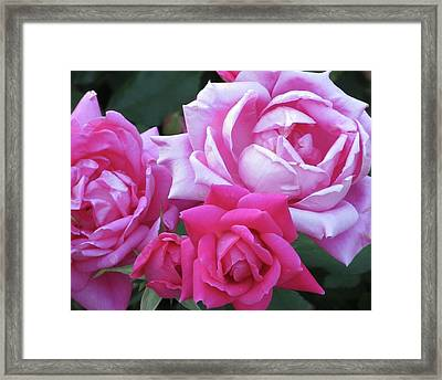 Roses Framed Print by Michele Caporaso