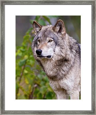 Timber Wolf Framed Print by Michael Cummings