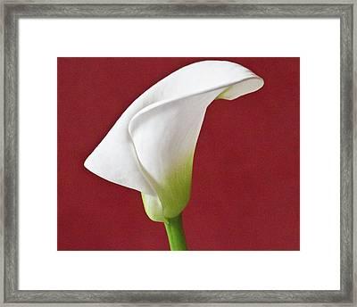 White Calla Framed Print by Heiko Koehrer-Wagner