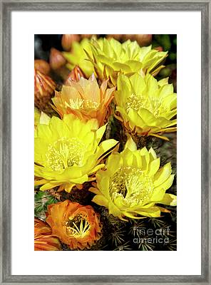 Yellow Cactus Flowers Framed Print by Jim and Emily Bush
