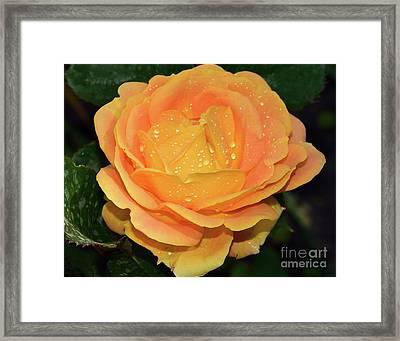 Beautiful Rose Framed Print
