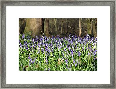 Bluebells At Banstead Wood Surrey Uk Framed Print