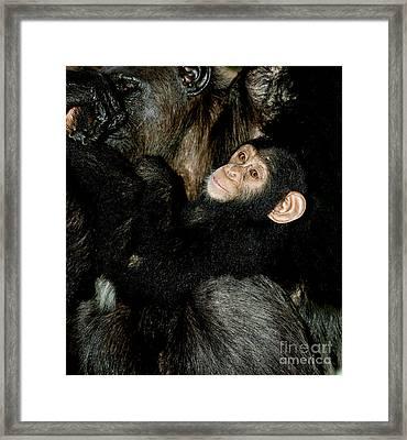 Chimpanzee Pan Troglodytes Framed Print by Gerard Lacz