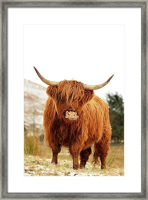 Highland Cow Framed Print by Grant Glendinning