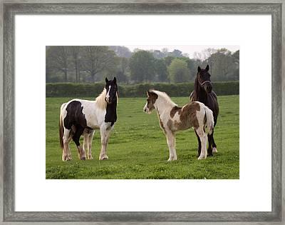 Irish Cobs Framed Print by Angel  Tarantella