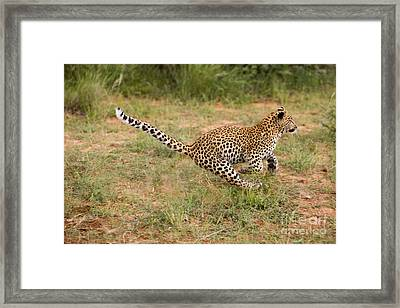 Leopard Panthera Pardus Framed Print by Gerard Lacz