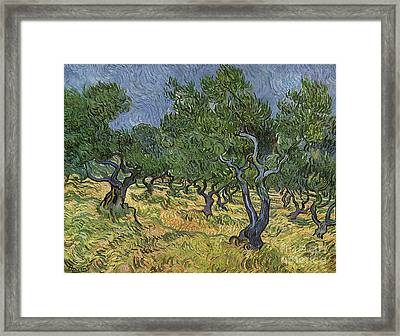 Olive Orchard Framed Print by Vincent Van Gogh