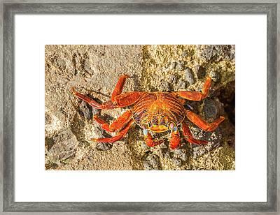 Sally Lightfoot Crab On Galapagos Islands Framed Print