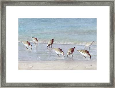 7 Sandpipers On Siesta Key Beach Framed Print by Shawn McLoughlin