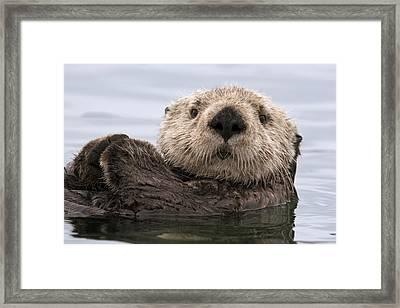 Sea Otter Elkhorn Slough Monterey Bay Framed Print by Sebastian Kennerknecht