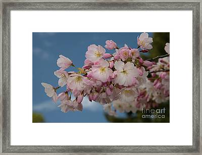 Silicon Valley Cherry Blossoms Framed Print by Glenn Franco Simmons