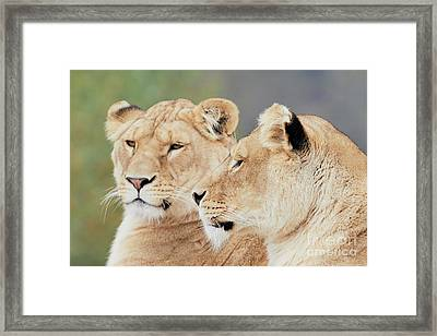 Two Lions Close Together Framed Print by Nick Biemans
