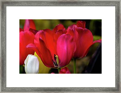 Tulips Framed Print by Robert Ullmann