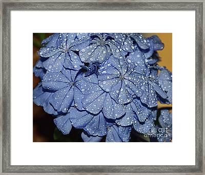 Blue Plumbago Framed Print