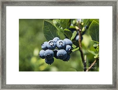 Blueberry Bush Framed Print