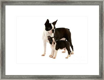 Boston Terrier Dog Framed Print