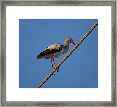Framed Print featuring the photograph 8- Brown Ibis by Joseph Keane