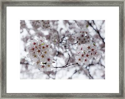 Cherry Blossoms Framed Print by Robert Ullmann