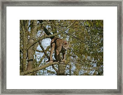 Cougar Puma Concolor Framed Print by Gerard Lacz